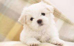 maltese_puppy